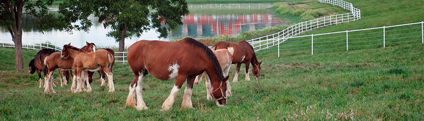 Photo of Clydesdales snacking on grass in a field.